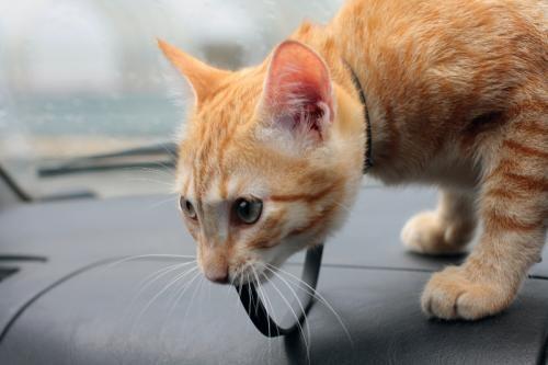 , как перевезти кота в машине без стресса