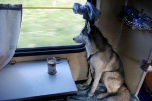 Особенности провоза больших собак