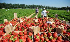 Сборщик ягод и фруктов на частных фермах
